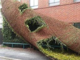 Removing Ivy from a building